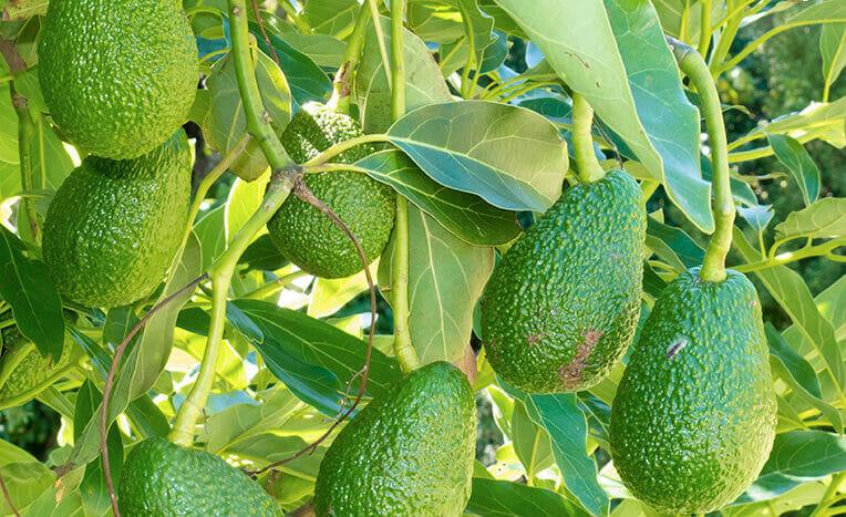 Зелёные плоды авокадо на дереве