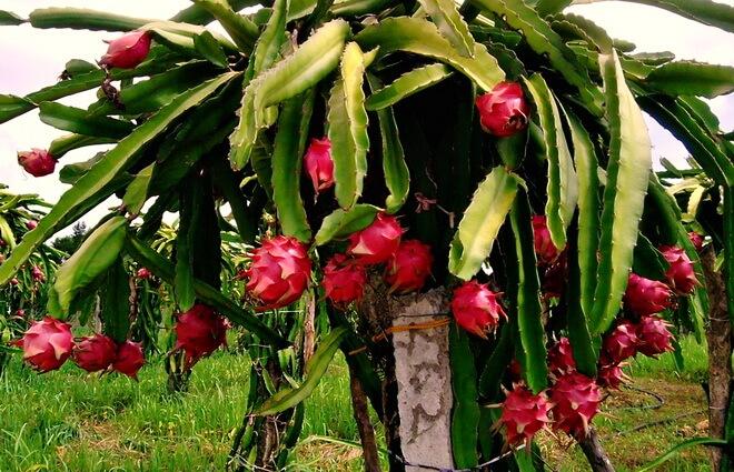 Дерево питахайя. Драконий фрукт