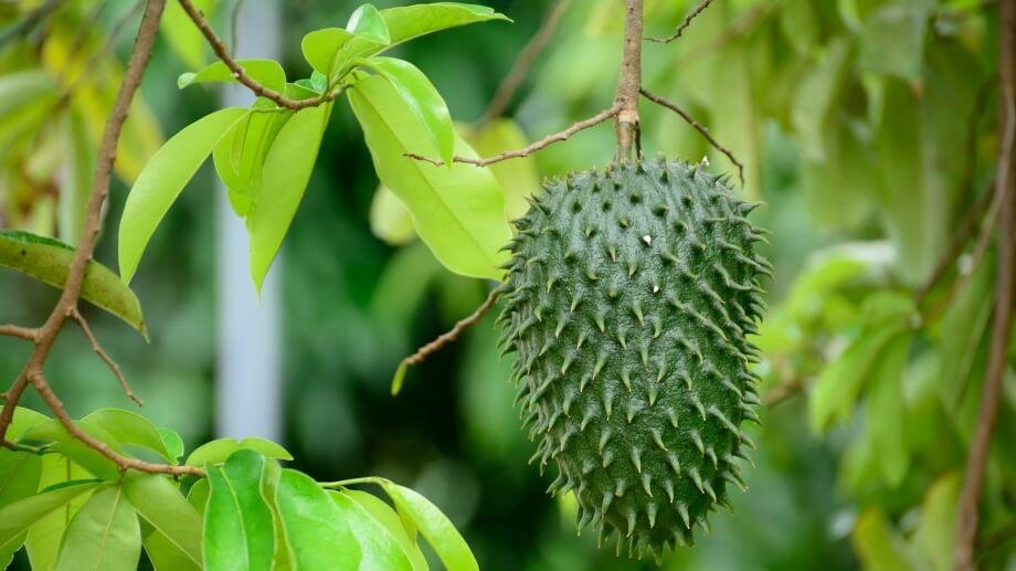 Гуанабана на дереве в Доминикане
