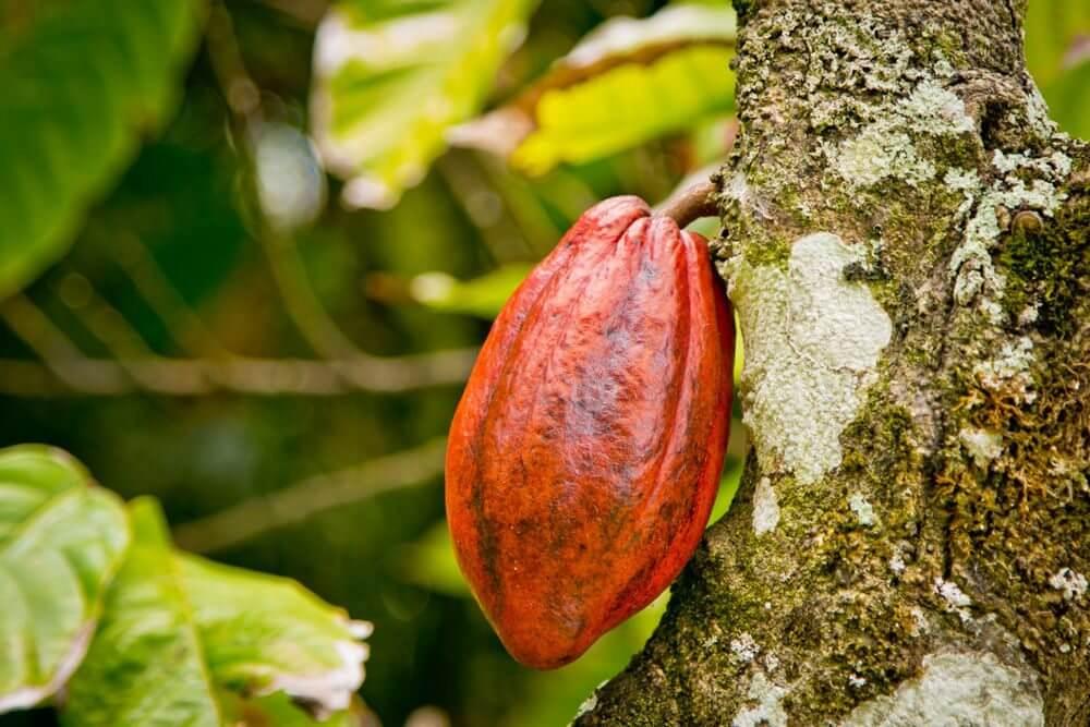 Плод какао боба. Красный цвет. На дереве