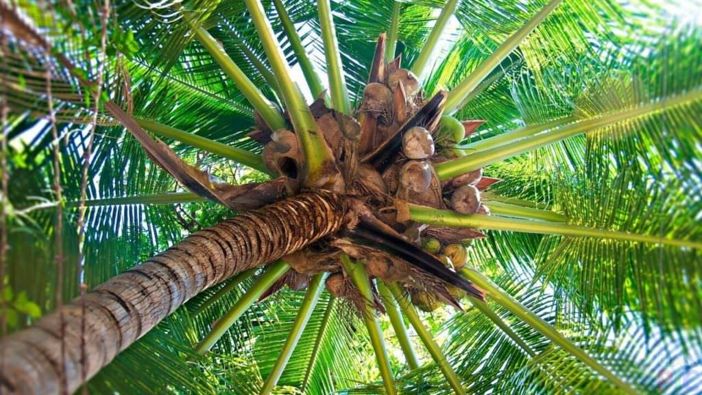 Плоды кокоса на пальме