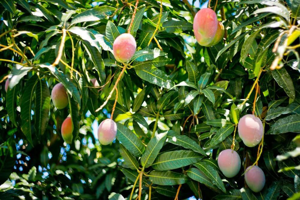 Плоды манго на дереве в Доминикане