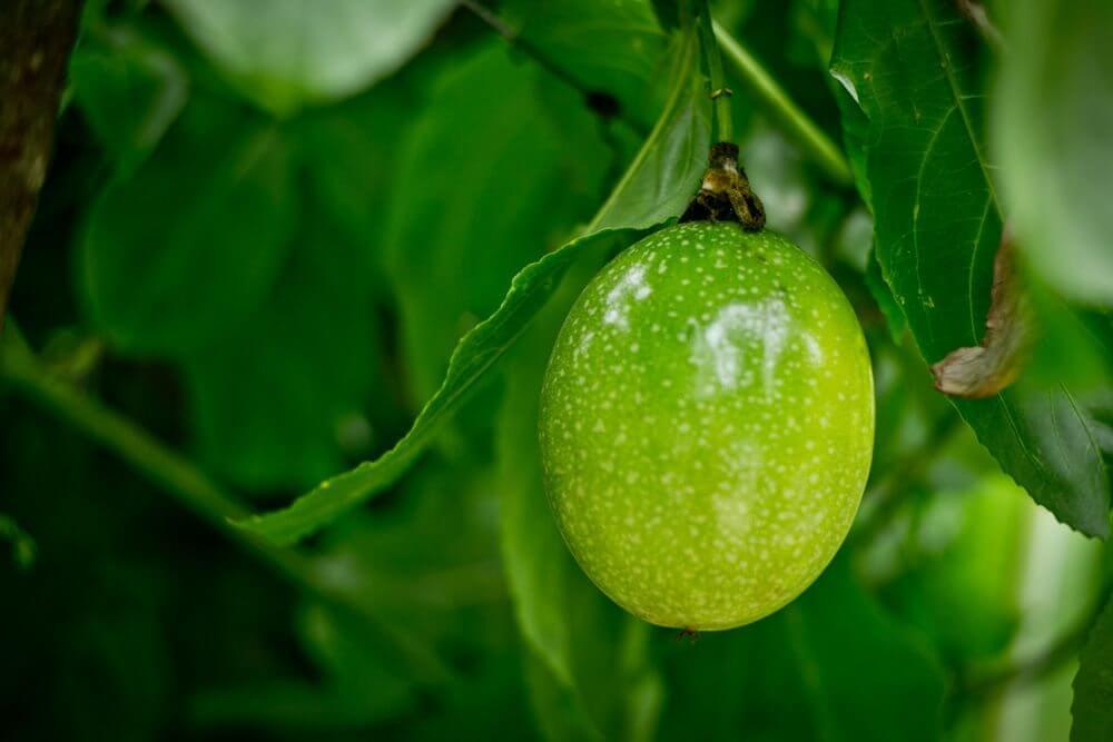 Не зрелая маракуя (чинола). Зелёная на ветви дерева