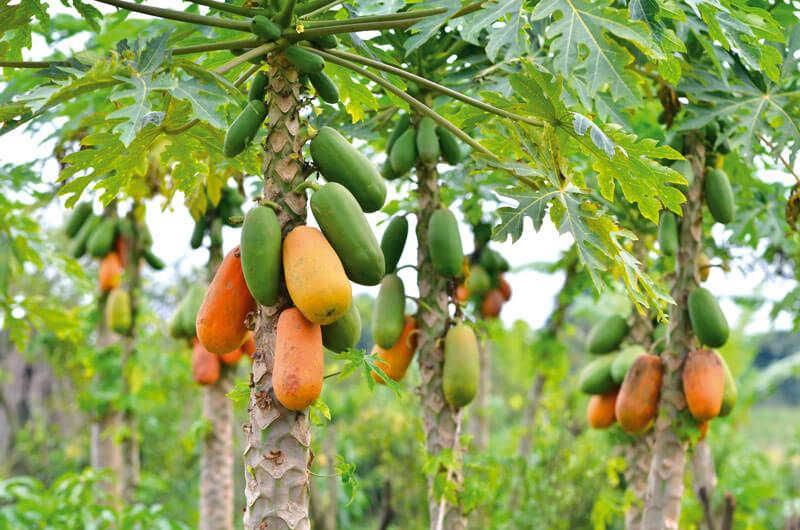 Фрукт Папайя (Лечоса) на дереве в Доминикане
