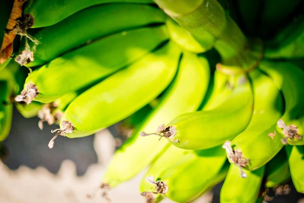 Доминиканские платано зелёные на ветви