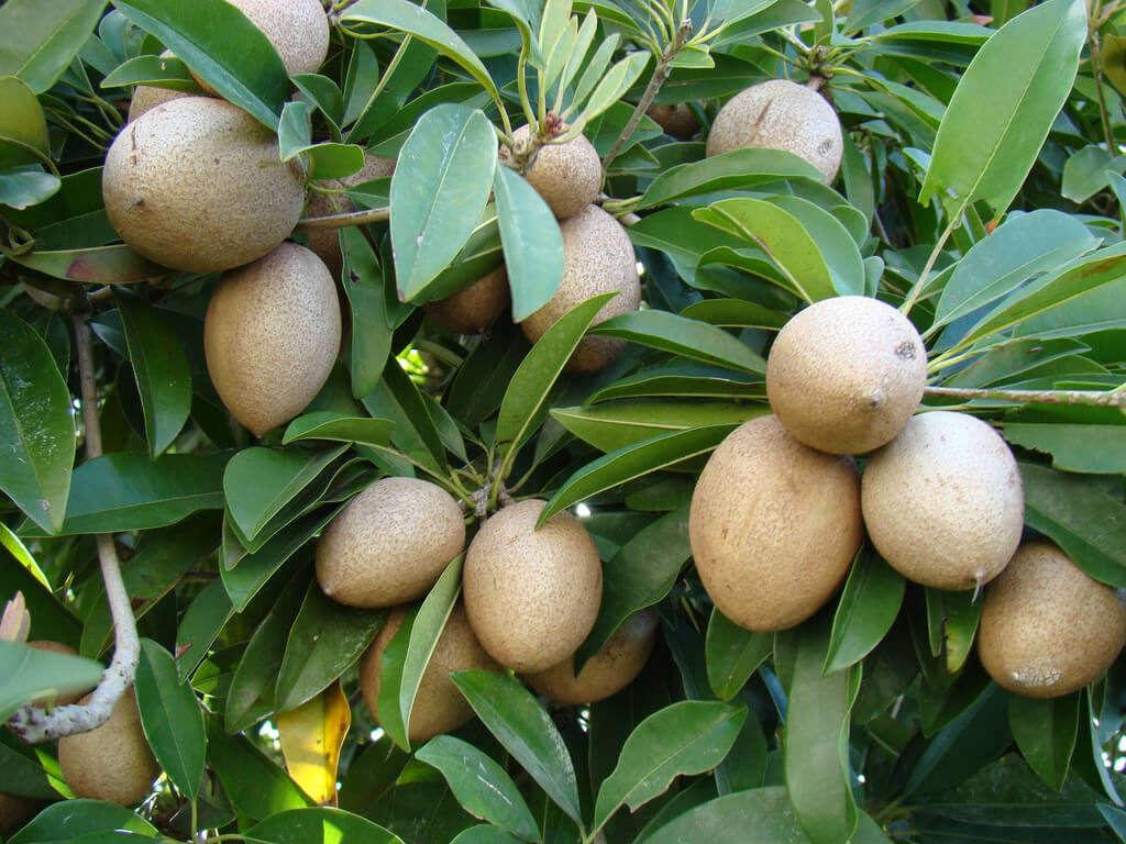 Плоды сапоты на дереве