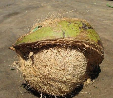Зрелый кокос с кожурой